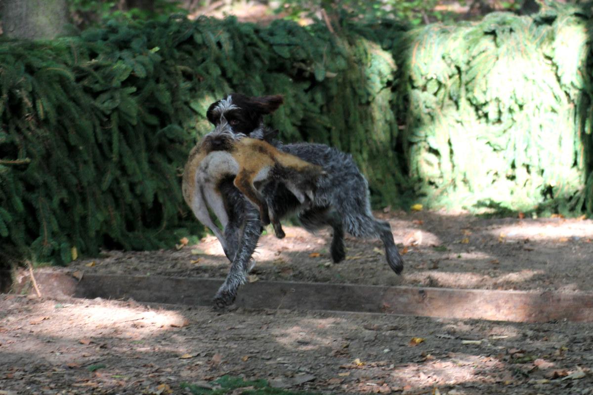 disciplína: přinášení lišky přes překážku